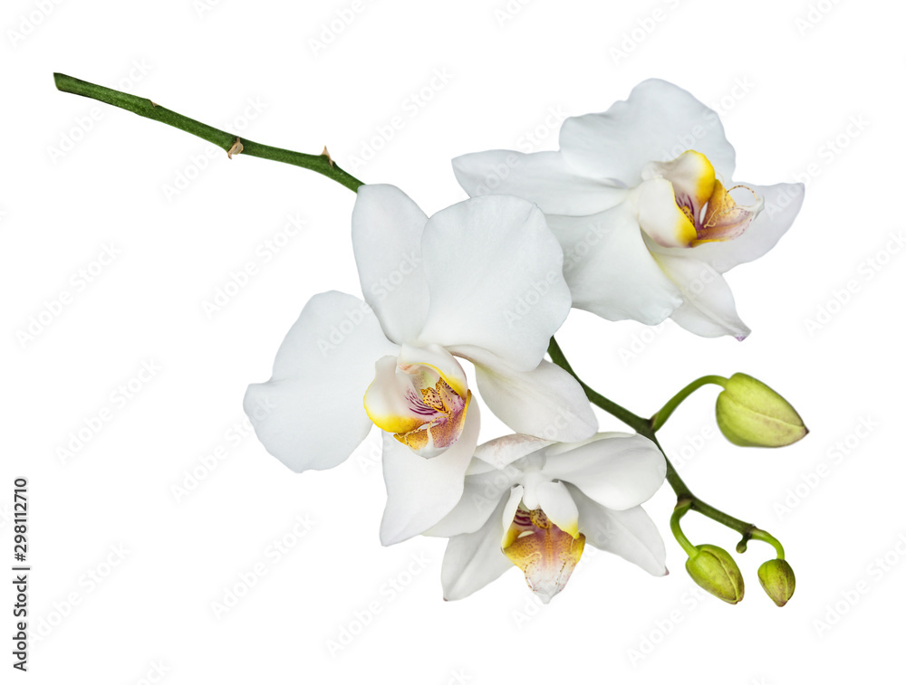 Fototapety, obrazy: Moth orchid on white