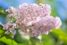 Pale Pink Lilac Flowers