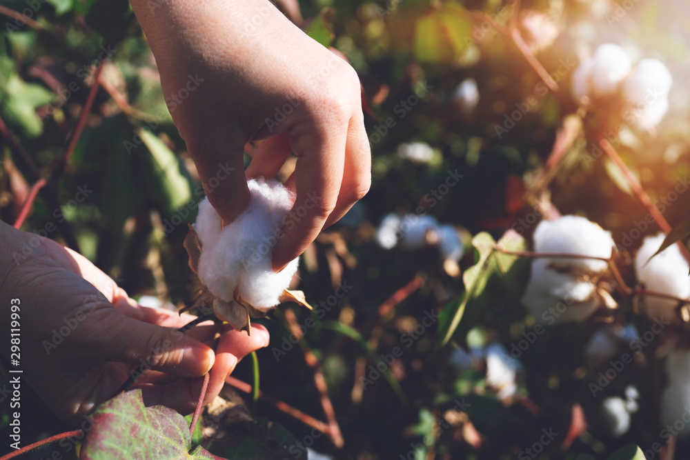 Fototapety, obrazy: collecting cotton from field at sunset