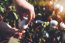Collecting Cotton From Field A...