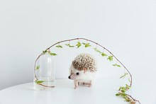 Very Cute African Pygmy Hedgeh...