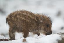 Cute Wild Boar Piglet