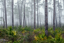 Florida Forest In The Fog