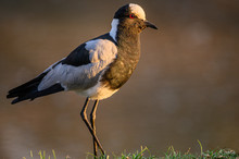 Blacksmith Lapwing Foraging For Food In The Thick Grass Adjacent To The Water