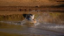 Egyptian Goose Landing Into Th...