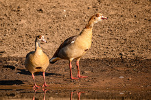Egyptian Goose Pair Patrolling...