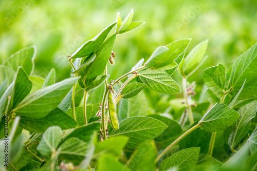 Montage in der Fensternische Pistazie Rural landscape - field the soybean (Glycine max) in the rays summer sun, closeup