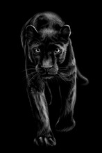 Panther. Artistic, Sketchy, Black And White Portrait Of A Walking Panther On A Black Background.