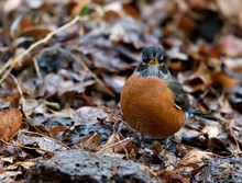 Adorable Male American Robin (...