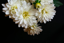 Beautiful White Dahlia Flowers