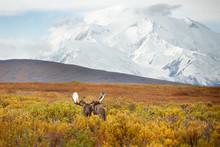 Moose And Denali