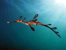 Weedy Seadragon Swimming In Sea