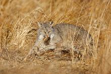 Bobcat Catching A Vole
