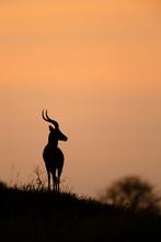 Impala In Silhouette