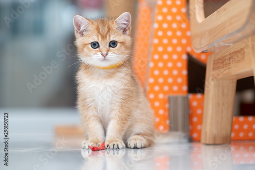 In de dag Kat Cute British Longhair cat