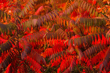 Autumn Texture Of Leaves And B...