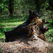 Burnt Out Fallen Tree Stump