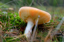 A Poisonous Fungus Growing On The Forest Litter In The Autumn, Visible Lamellae Of The Fungus.