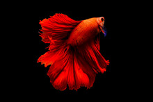 Capture The Moving Moment Of Fighting Fish Isolated On Black Background ( Betta Fish )