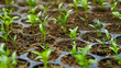 selective Close-up of green seedling, Green salad growing from seed, Organic salad in the garden Plant .