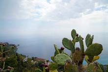 Prickly Pear (bunny Ear) Cactus At The Coast