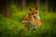 Red Fox, Vulpes Vulpes, Adult Fox With Young