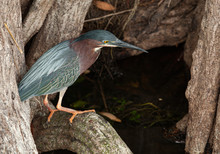 Green Heron Looking For Food