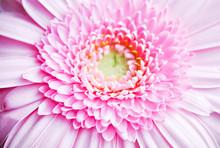 Pink Gerbera Flower On Green Background