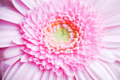 pink gerbera flower on green background