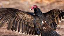Portrait Of A Turkey Vulture W...