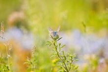 Adult Individual Common Blue B...