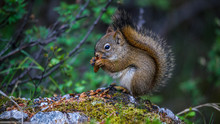 Alaska Red Squirrel Eatting A ...