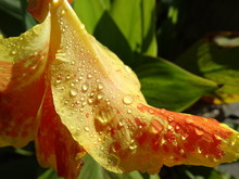 Drops On Canna Lily