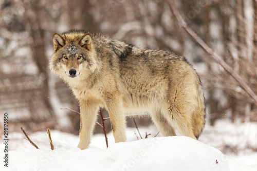 Naklejki wilk  a-lone-timber-wolf-in-winter
