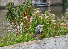 Grey Heron By Wildflowers On Canal With Boat In Background In Amsterdam Netherlands