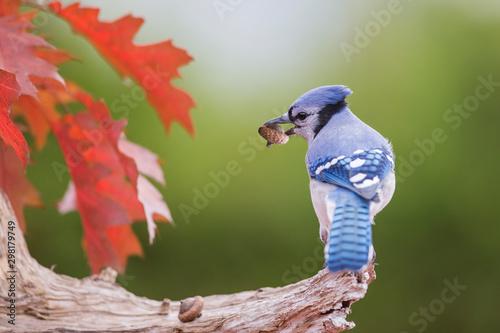 Valokuva Blue jay in autumn