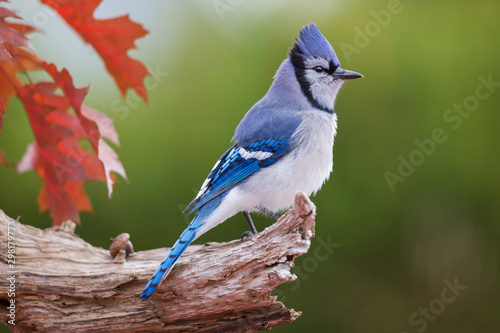 Blue jay in autumn Fototapet
