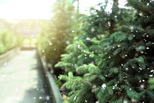 Beautiful Coniferous Trees For...