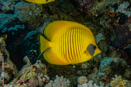 Fototapety, obrazy: Fish swim in the Red Sea, colorful fish, Eilat Israel
