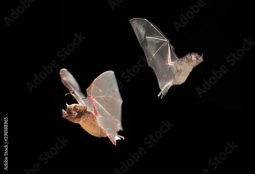 Pinturas sobre lienzo  A bat flies at night in Medellin