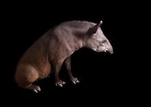 South American Tapir - Tapirus...