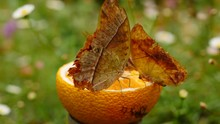 Close Up: Three Karkloof Emperor Butterflies Feed On Juice From Orange Cut In Half, Placed In Beautiful Urban Garden. Camera Slowly Wraps Around Closest Insect With Damaged Wing Edges In Shallow Focus