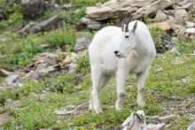 White Mountain Goat On The Hill