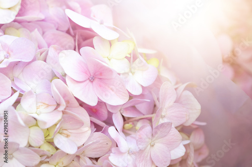 Poster de jardin Hortensia Hydrangea with sunlight for background. Selective Focus.