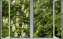 Open Window With A View Of The Spring Flowering Chestnut And Chestnut, On Which The Fruits Of The Chestnut Hang In Autumn