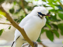 Portrait Of A Bali Mynah Perched On A Branch