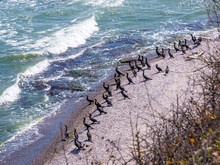 Cormorants Rest On The Seafront. They Will Dive Back Into The Water To Look For Food.