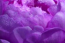 Rose Pink Flower Macro View