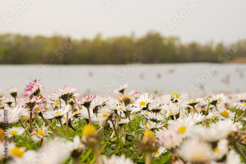 Shallow focus of an area of wild growing daisy flowers seen at the edge of a large lake Wallpaper Mural