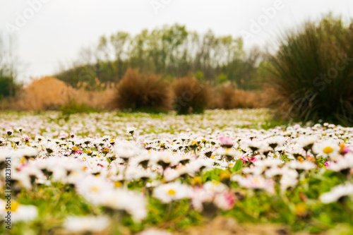 Photo  Shallow focus of an area of wild growing daisy flowers seen at the edge of a large lake